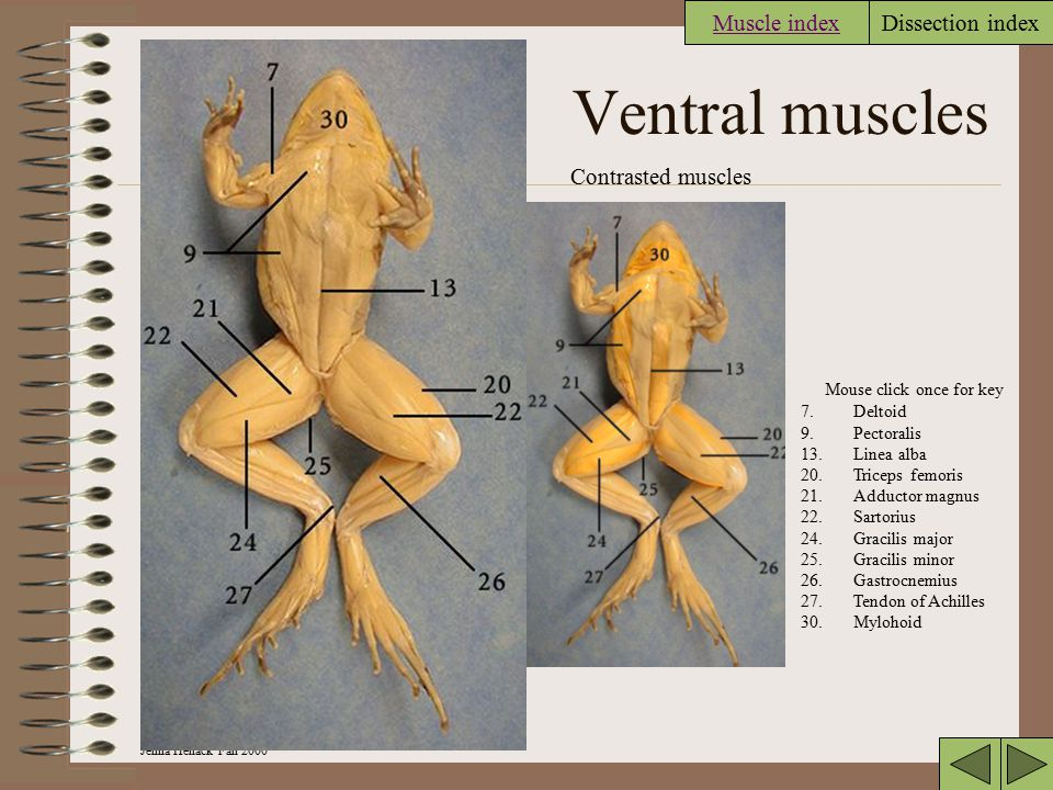 Jenna Hellack Fall 2000 Dissection index Legs lateral muscles Muscles contrasted 17.Gluteus 18.Piriformis 20.Triceps femoris 25.Gracilis minor 26.Gast