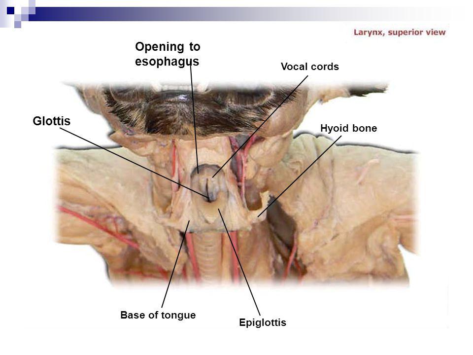 Vocal cords Epiglottis Base of tongue Glottis Opening to esophagus Hyoid bone