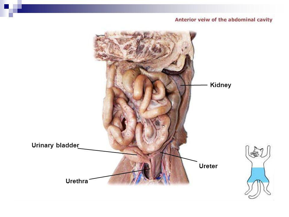 Urinary bladder Urethra Ureter Kidney