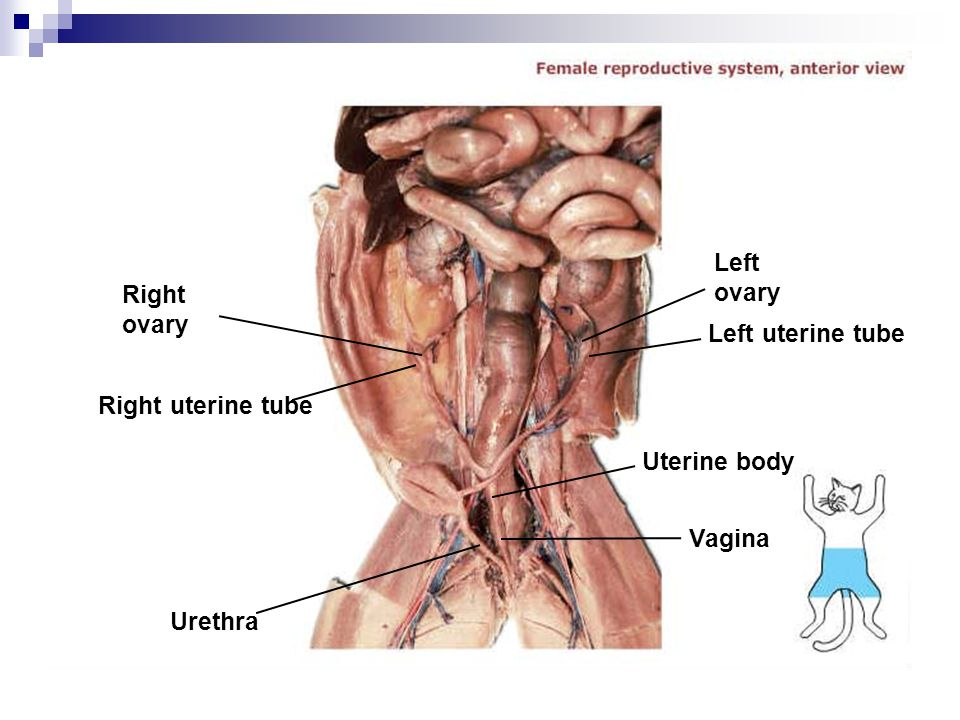 Right ovary Right uterine tube Urethra Left ovary Left uterine tube Uterine body Vagina
