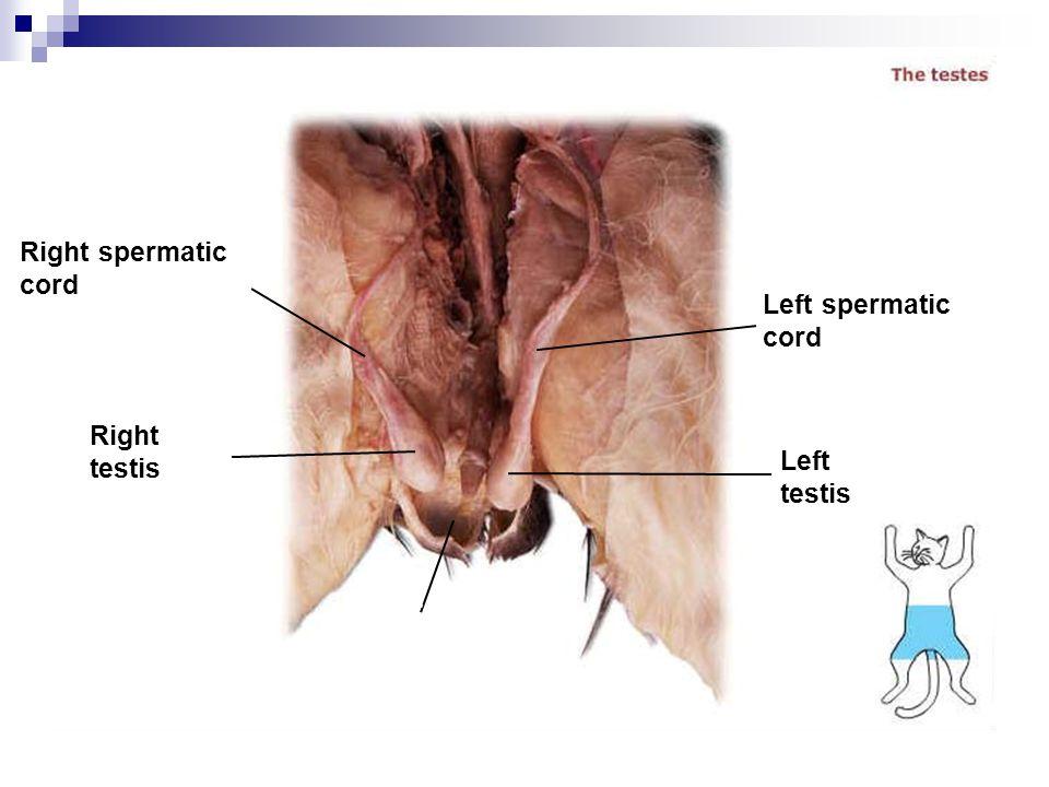 Right spermatic cord Right testis Left spermatic cord Left testis Scrotu m