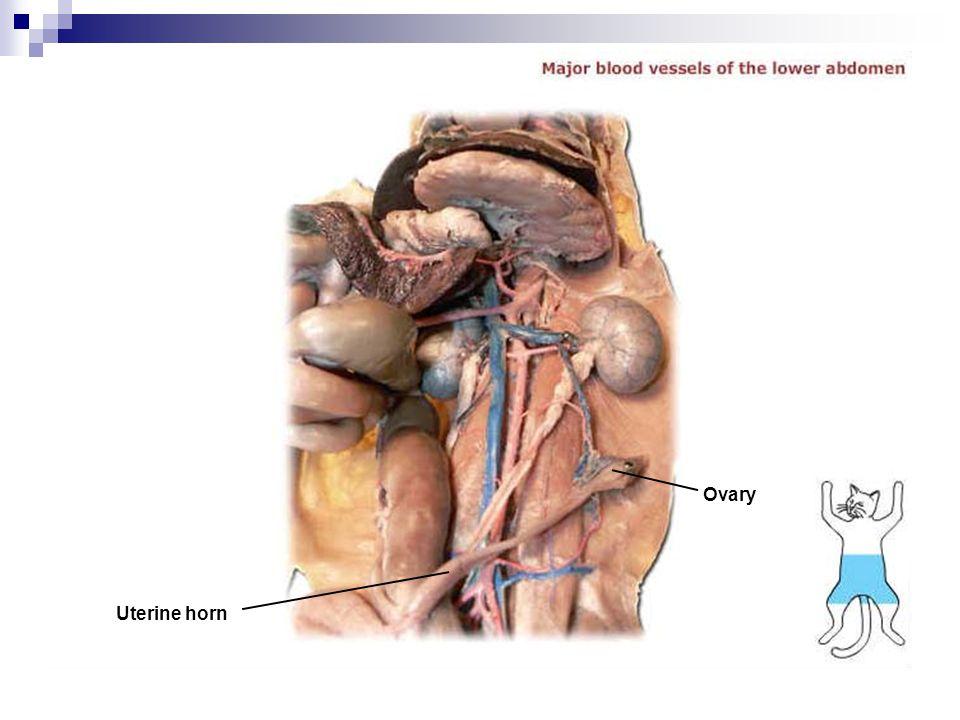 Uterine horn Ovary