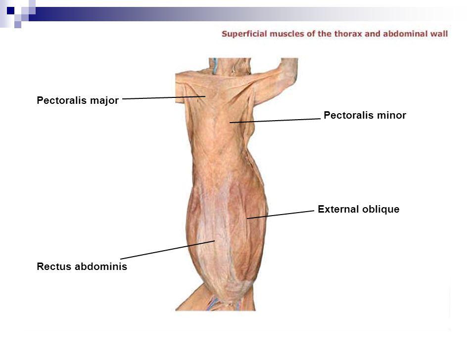 Pectoralis major Rectus abdominis External oblique Pectoralis minor