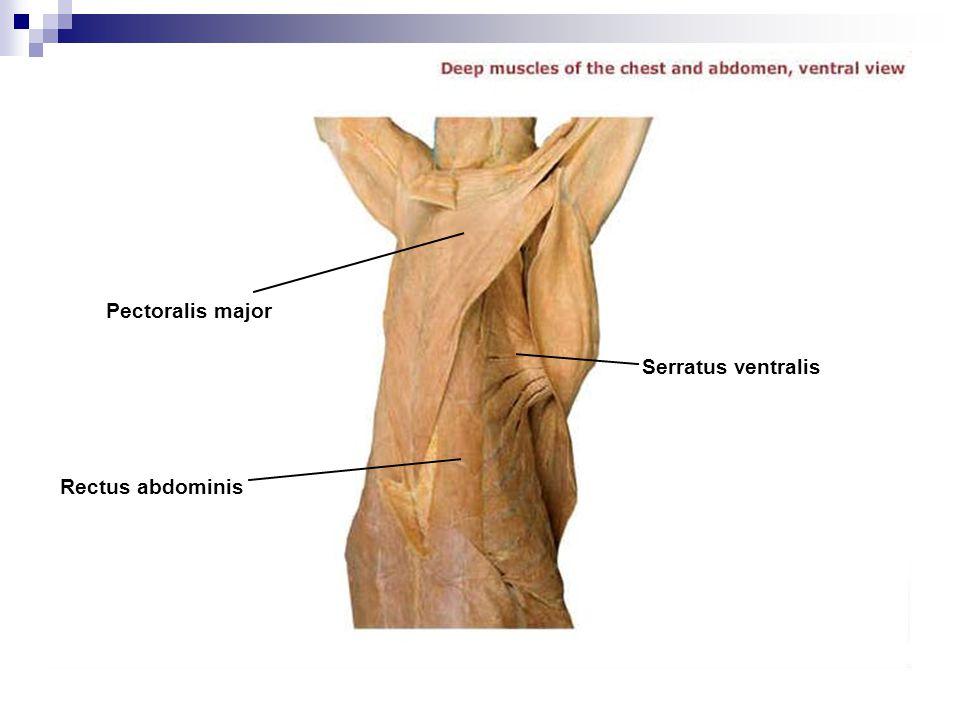 Rectus abdominis Serratus ventralis Pectoralis major