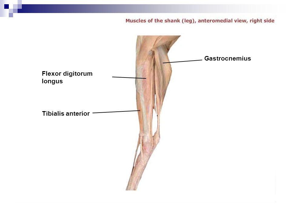 Flexor digitorum longus Tibialis anterior Gastrocnemius
