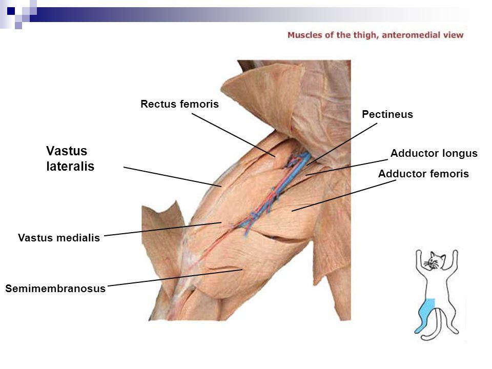 Pectineus Rectus femoris Vastus lateralis Semimembranosus Adductor femoris Adductor longus Vastus medialis