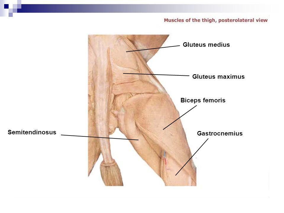 Semitendinosus Gastrocnemius Biceps femoris Gluteus maximus Gluteus medius