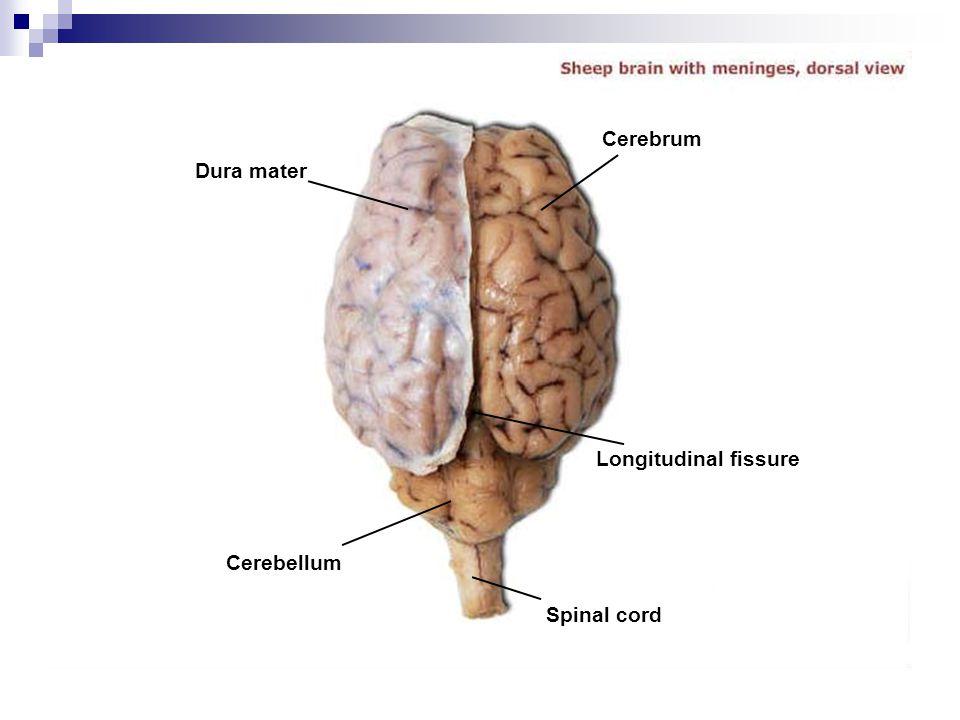 Dura mater Cerebrum Longitudinal fissure Spinal cord Cerebellum