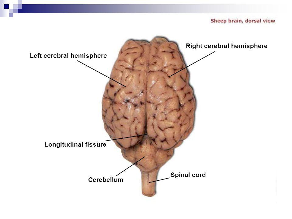 Left cerebral hemisphere Longitudinal fissure Cerebellum Right cerebral hemisphere Spinal cord