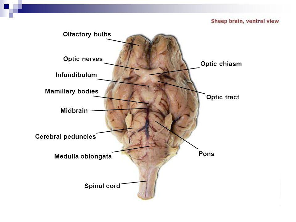 Cerebral Peduncles Midbrain