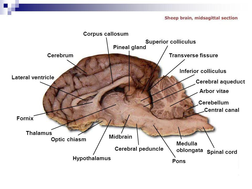 Cerebrum Corpus callosum Lateral ventricle Fornix Thalamus Optic chiasm Hypothalamus Midbrain Cerebral peduncle Pons Medulla oblongata Spinal cord Cen