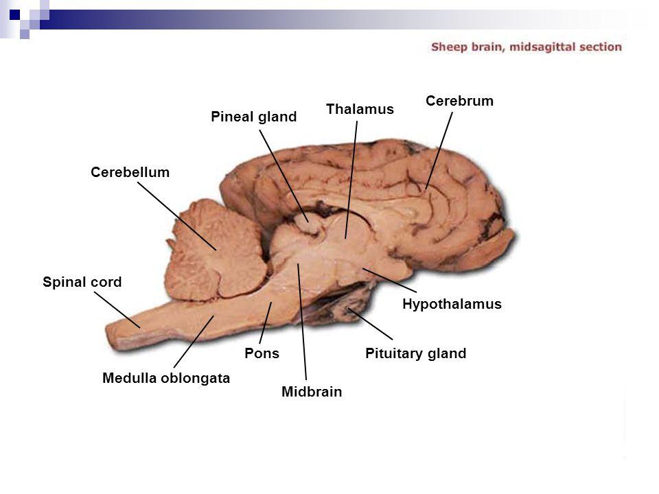 Cerebellum Pineal gland Thalamus Cerebrum Spinal cord Medulla oblongata Pons Midbrain Pituitary gland Hypothalamus