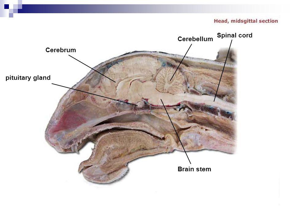 Cerebrum Cerebellum Spinal cord pituitary gland Brain stem