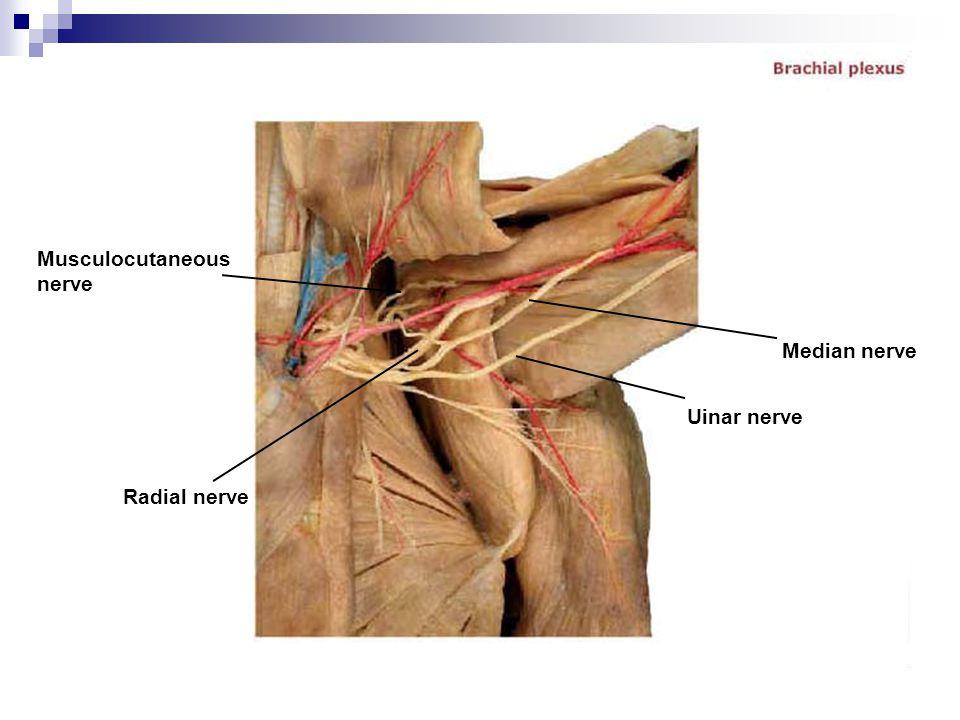 Musculocutaneous nerve Radial nerve Median nerve Uinar nerve