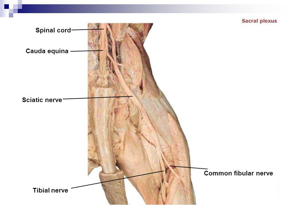 Spinal cord Cauda equina Sciatic nerve Tibial nerve Common fibular nerve
