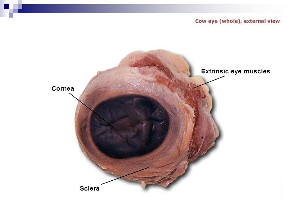 Cornea Sclera Extrinsic eye muscles