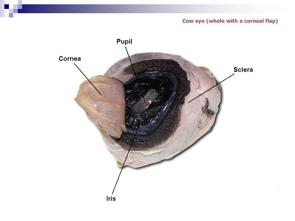 Cornea Pupil Sclera Iris