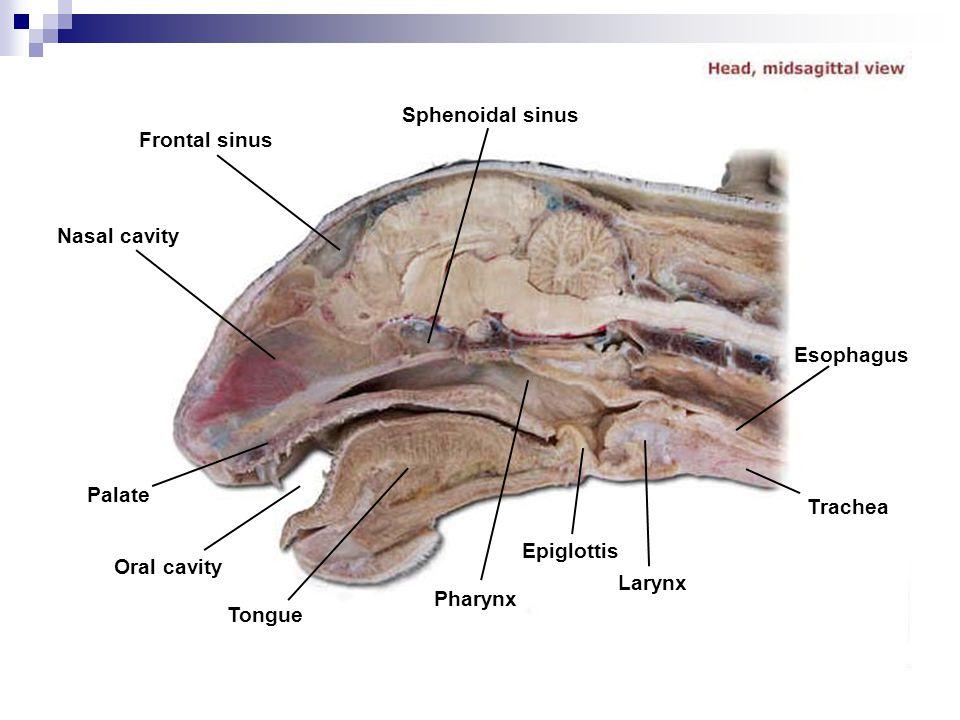 Frontal sinus Sphenoidal sinus Nasal cavity Palate Oral cavity Tongue Pharynx Epiglottis Larynx Trachea Esophagus