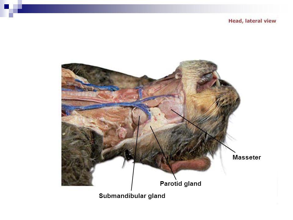 Masseter Parotid gland Submandibular gland