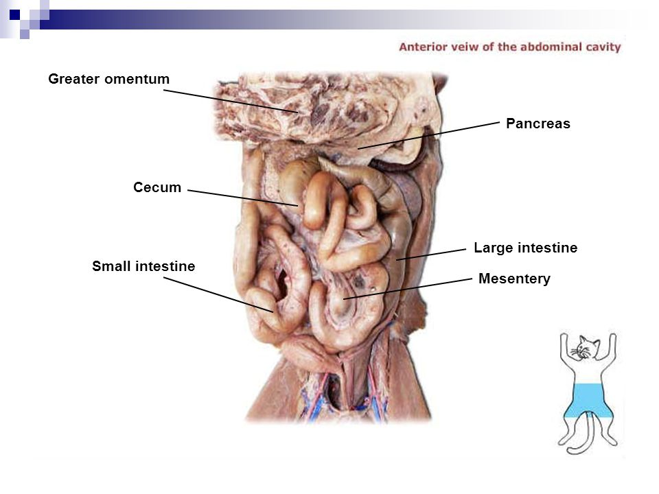 Greater omentum Cecum Small intestine Mesentery Large intestine Pancreas