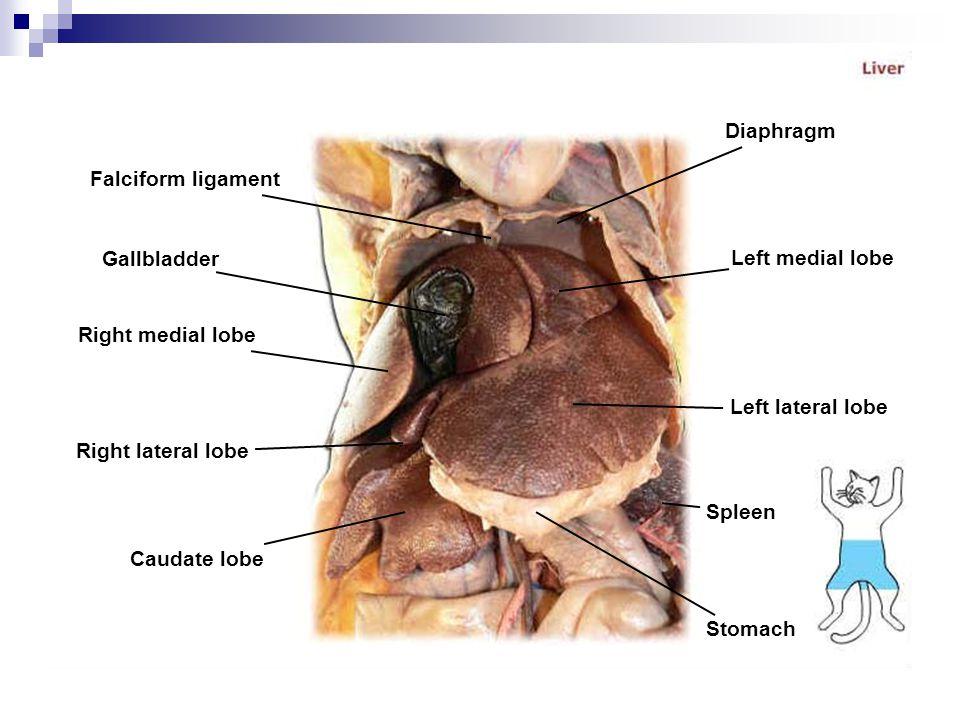 Falciform ligament Gallbladder Right medial lobe Right lateral lobe Caudate lobe Diaphragm Left medial lobe Left lateral lobe Spleen Stomach