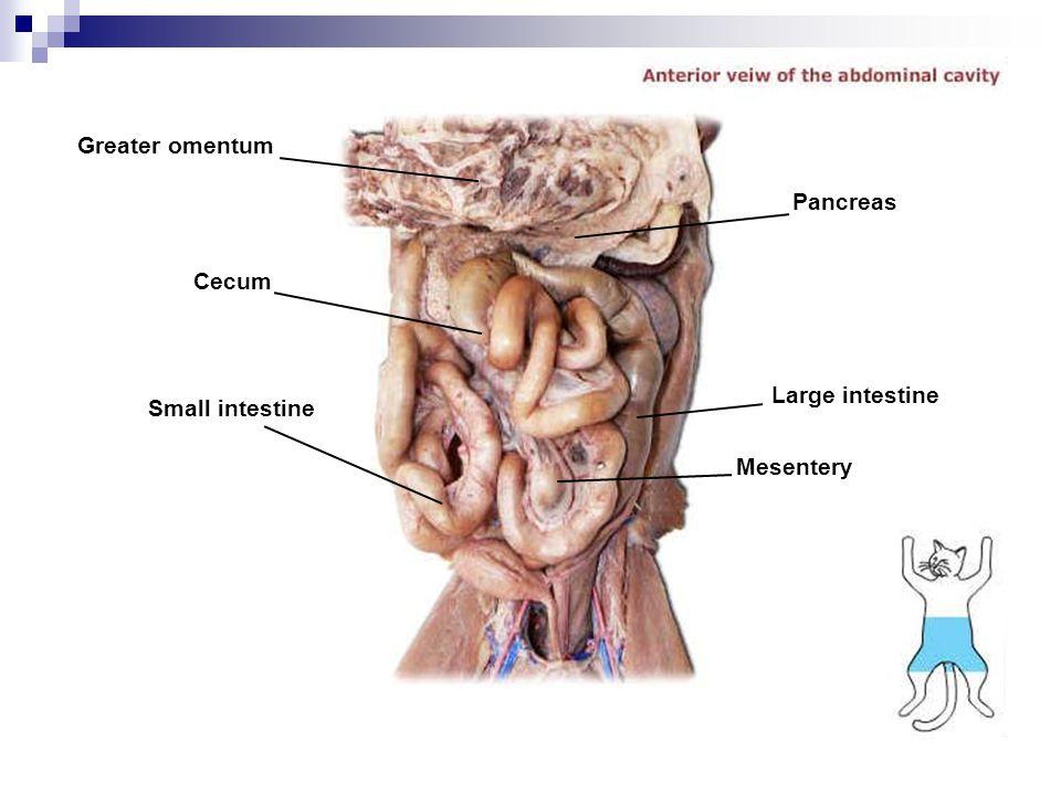 Greater omentum Cecum Small intestine Pancreas Large intestine Mesentery
