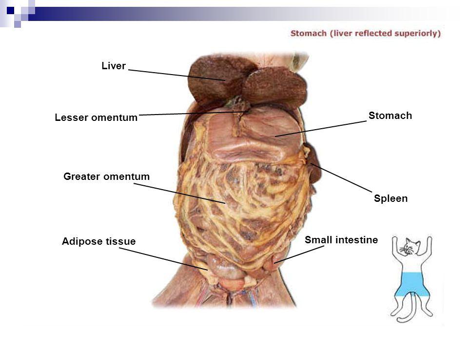Liver Lesser omentum Greater omentum Adipose tissue Stomach Spleen Small intestine