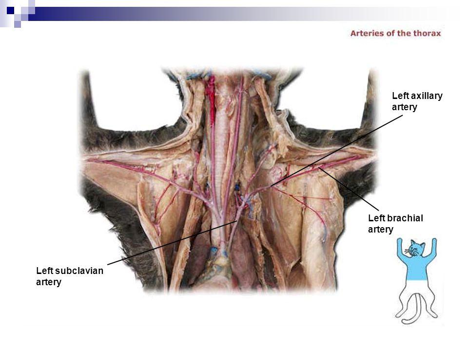 Left subclavian artery Left brachial artery Left axillary artery