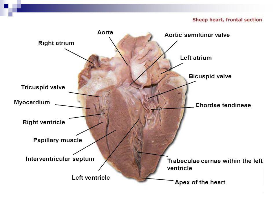 Unique Ventricular Septum Anatomy Frieze - Human Anatomy Images ...