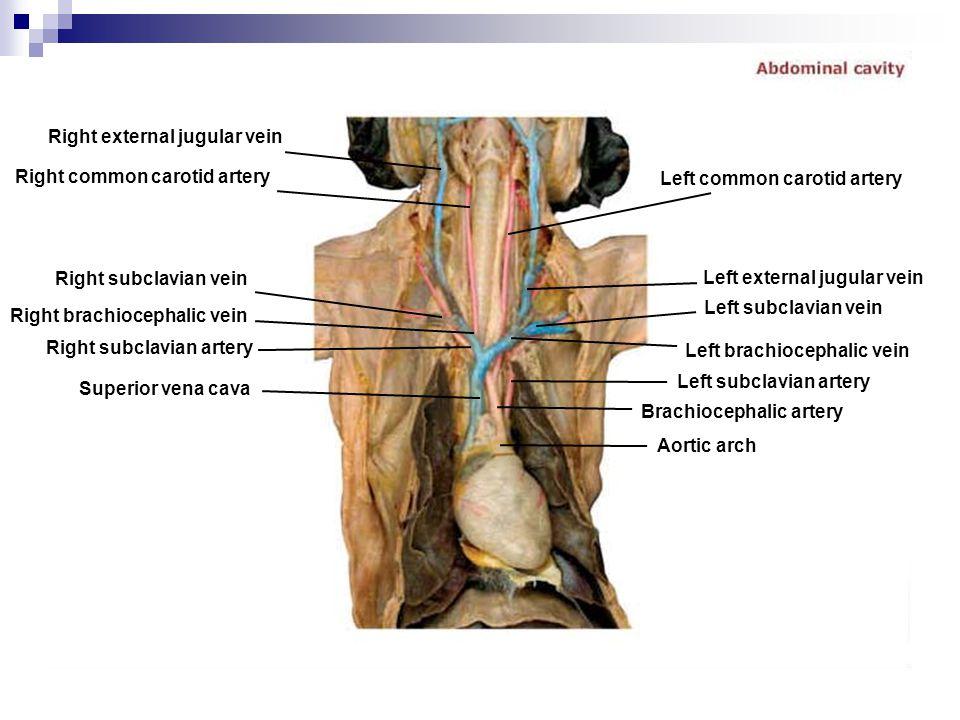 Right external jugular vein Right common carotid artery Right subclavian vein Right subclavian artery Superior vena cava Right brachiocephalic vein Ao