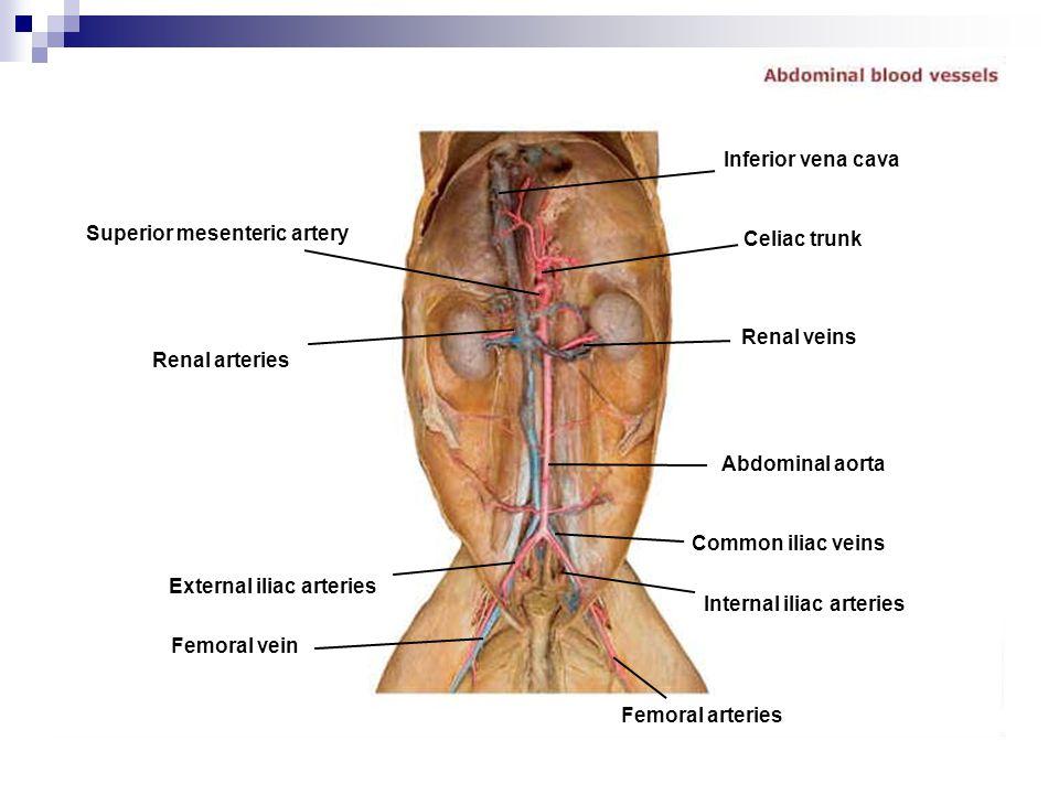 Superior mesenteric artery Renal arteries External iliac arteries Femoral vein Femoral arteries Internal iliac arteries Common iliac veins Abdominal a