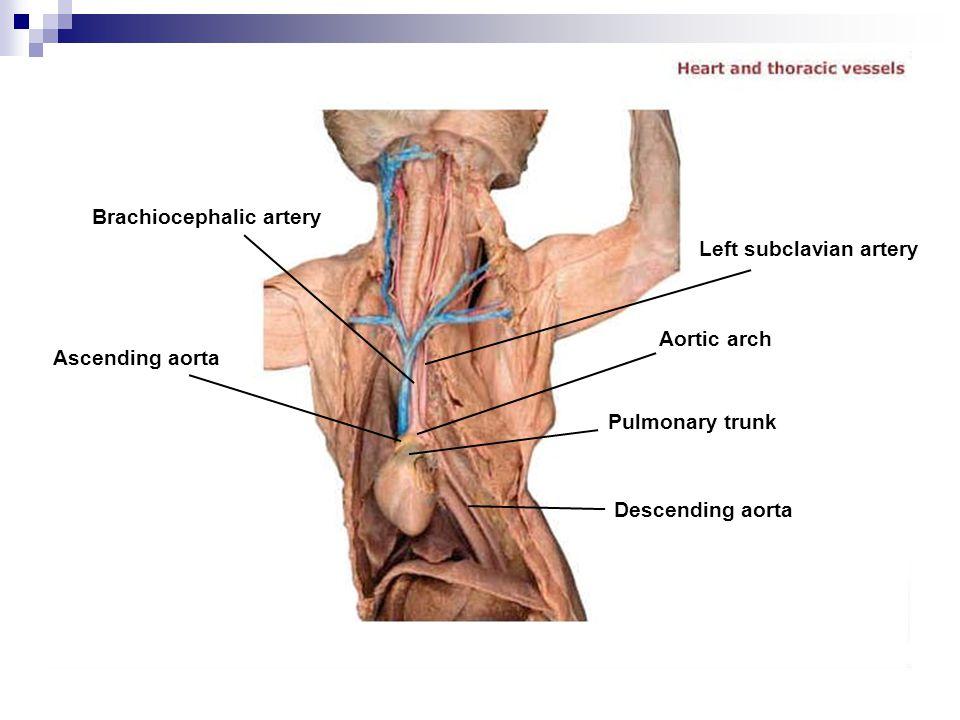 Brachiocephalic artery Ascending aorta Descending aorta Pulmonary trunk Aortic arch Left subclavian artery