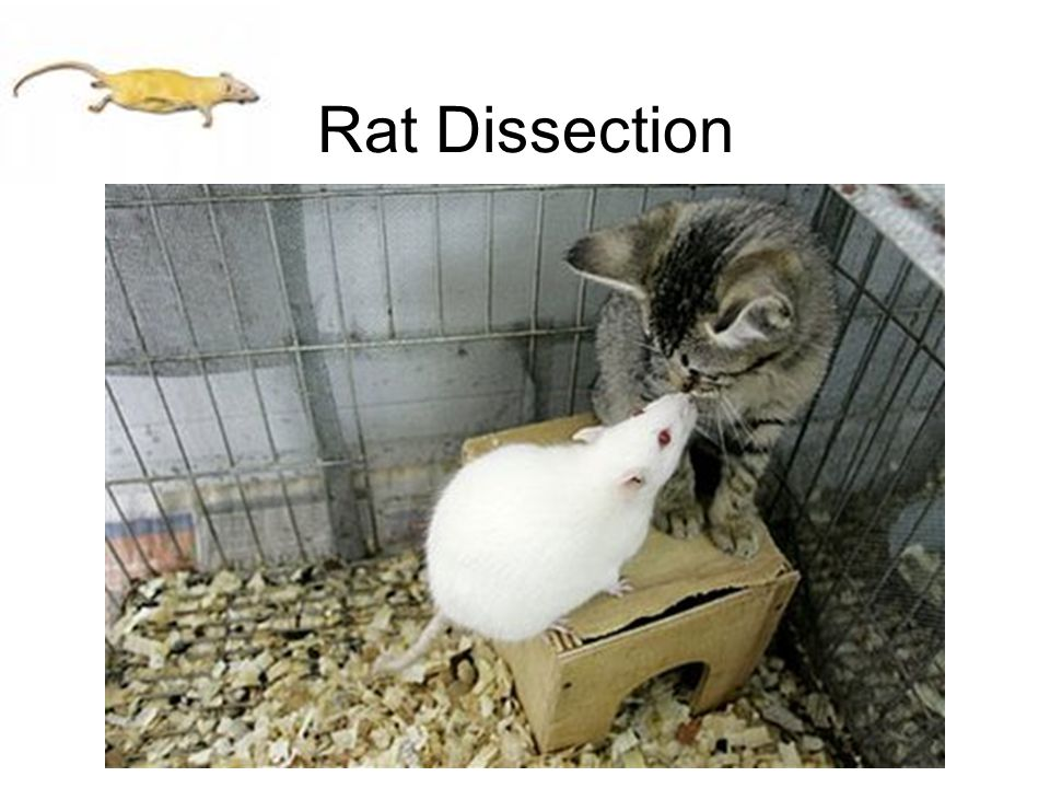 Rat Dissection