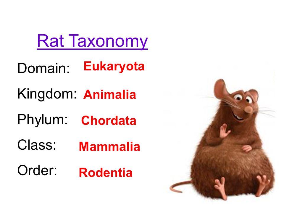 Rat Taxonomy Domain: Kingdom: Phylum: Class: Order: Eukaryota Animalia Chordata Mammalia Rodentia