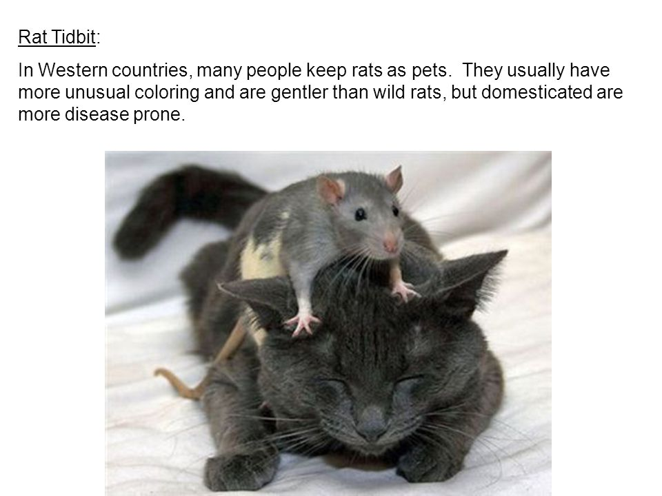 Rat Tidbit: In Western countries, many people keep rats as pets.