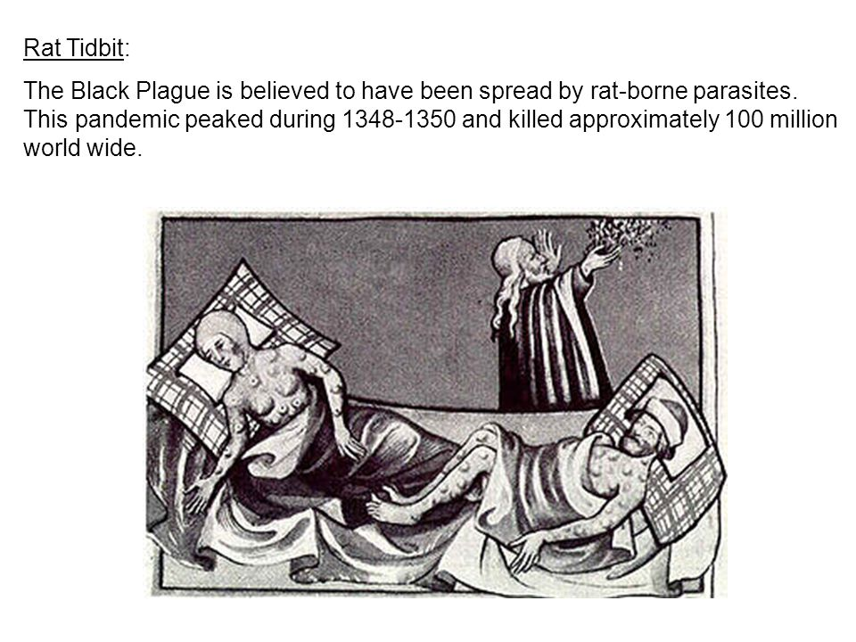 Rat Tidbit: The Black Plague is believed to have been spread by rat-borne parasites. This pandemic peaked during 1348-1350 and killed approximately 10
