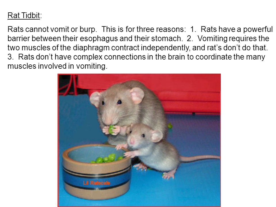 Rat Tidbit: Rats cannot vomit or burp. This is for three reasons: 1. Rats have a powerful barrier between their esophagus and their stomach. 2. Vomiti