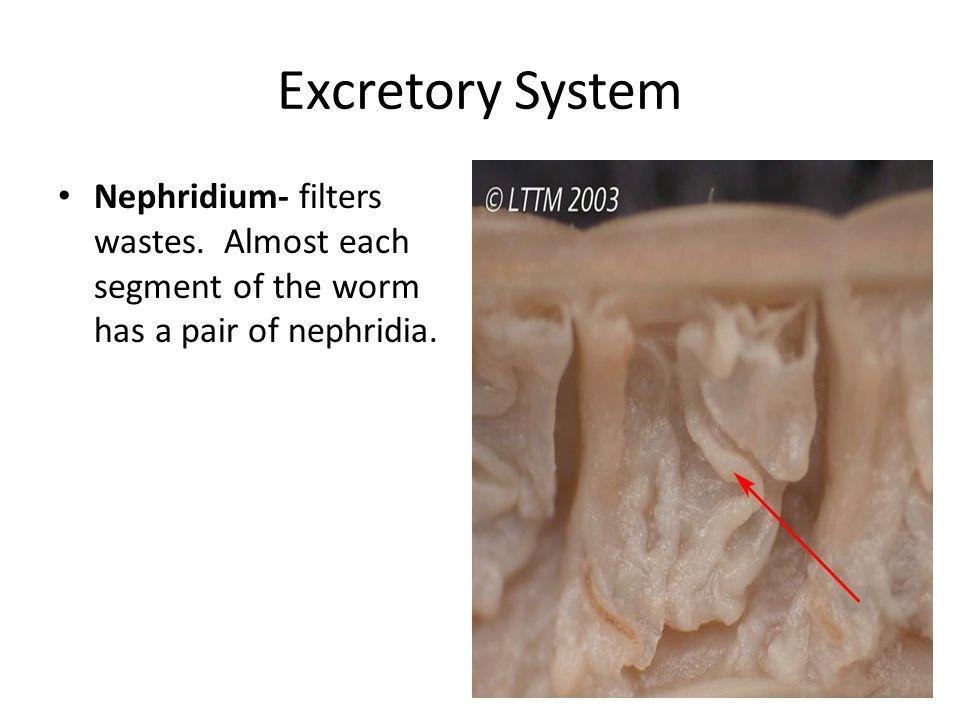 Excretory System Nephridium- filters wastes.