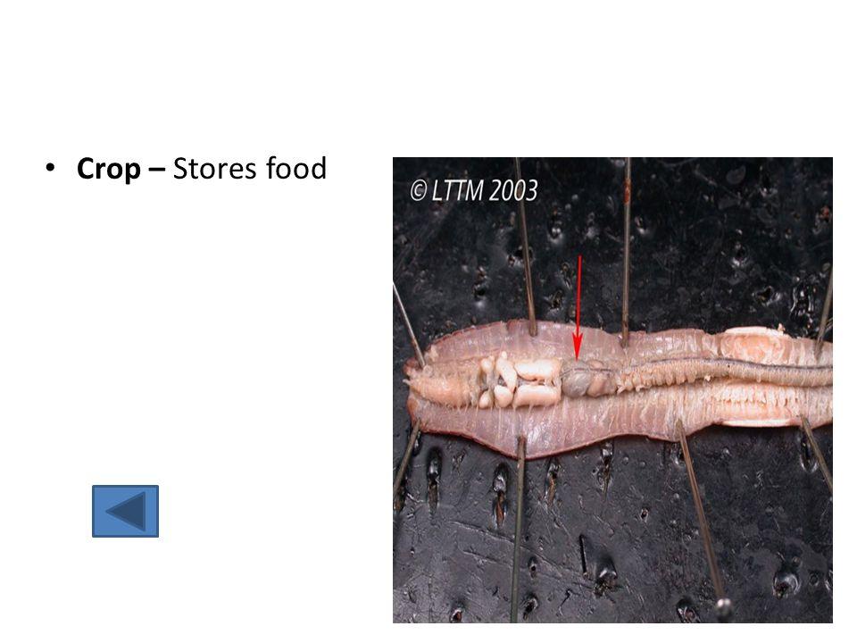 Crop – Stores food