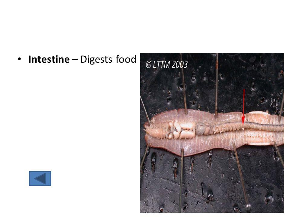 Intestine – Digests food