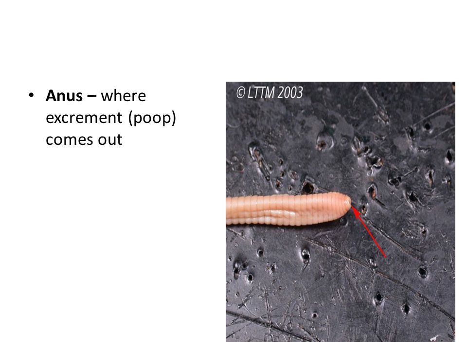 Anus – where excrement (poop) comes out