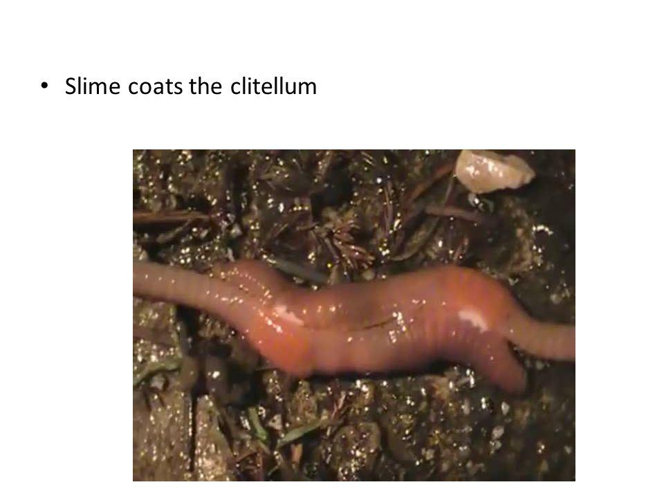 Slime coats the clitellum