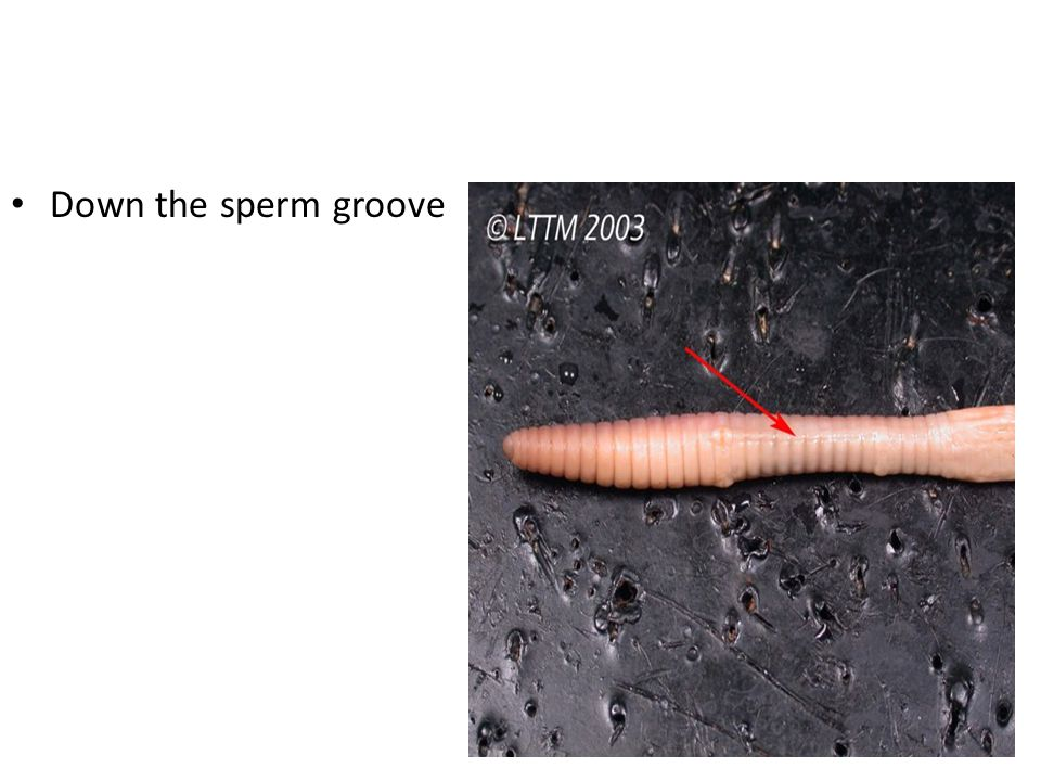 Down the sperm groove