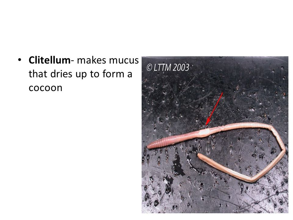 Clitellum- makes mucus that dries up to form a cocoon