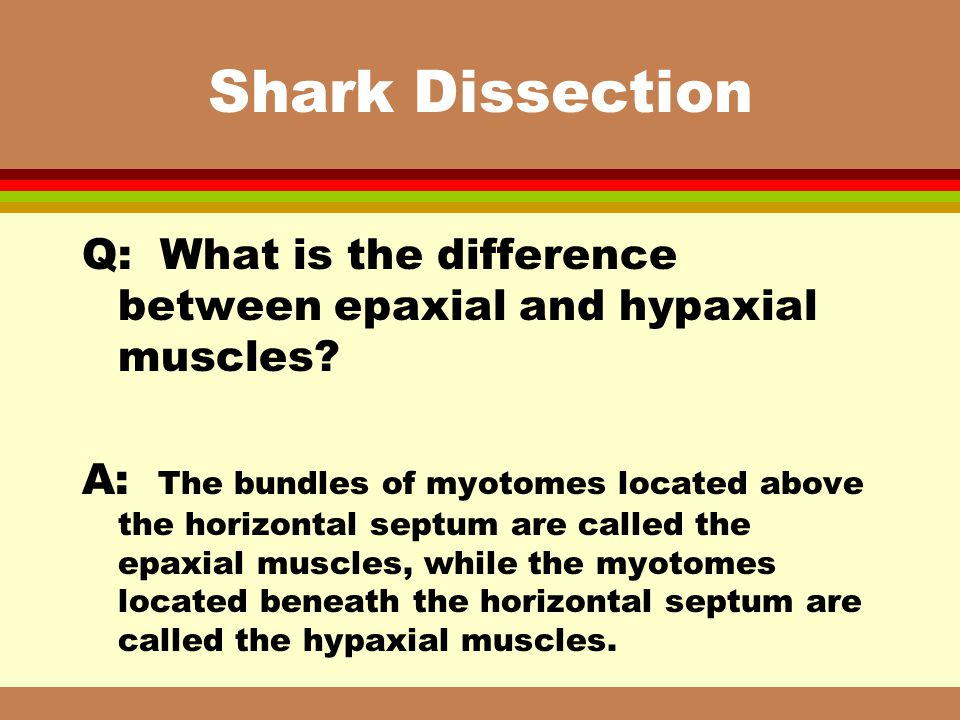 Shark Dissection Q: What is the difference between epaxial and hypaxial muscles? A: The bundles of myotomes located above the horizontal septum are ca