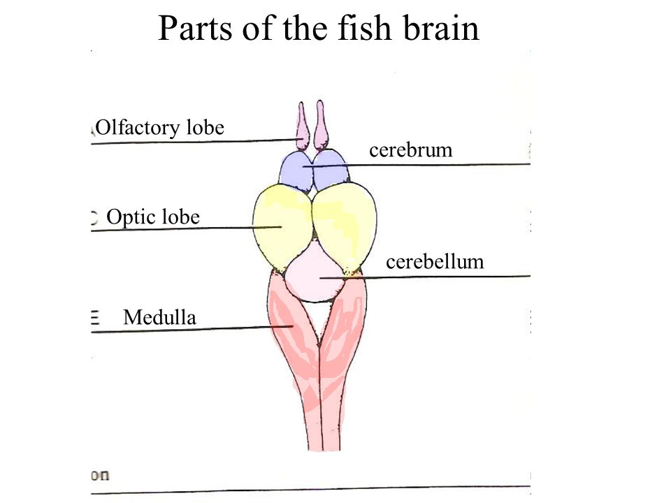 Dogfish Brain Diagram Product Wiring Diagrams
