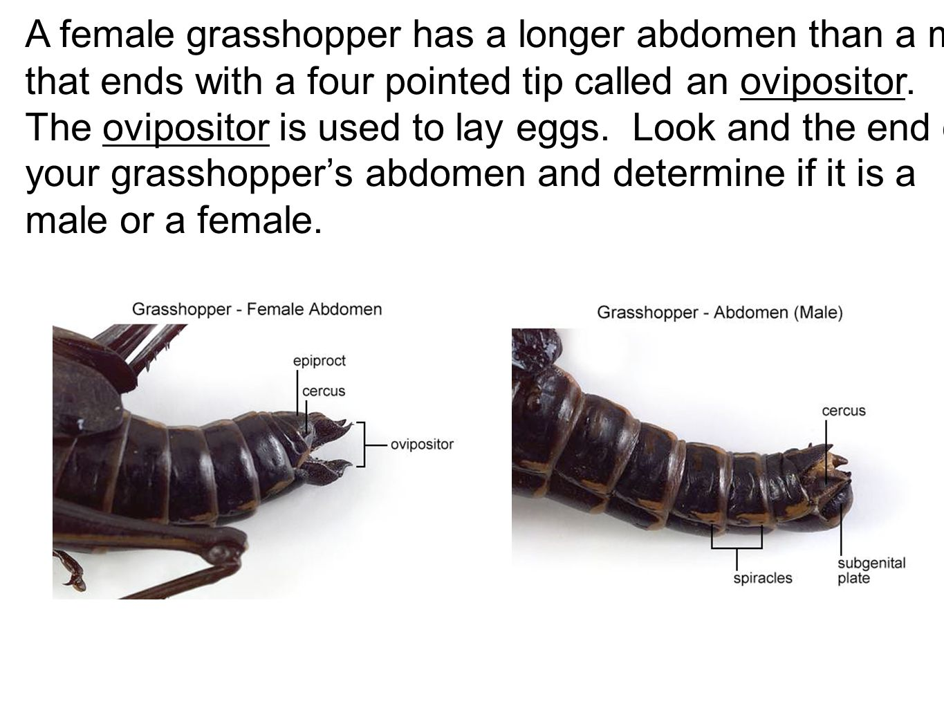 A female grasshopper has a longer abdomen than a male that ends with a four pointed tip called an ovipositor.