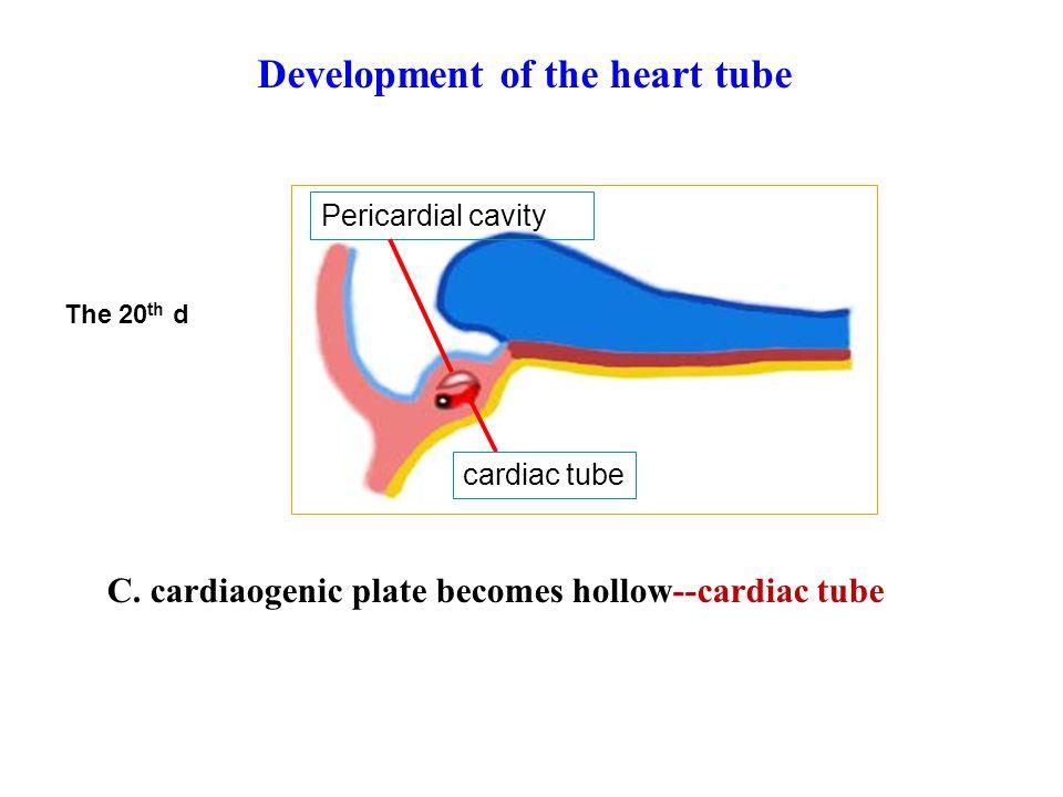 C. cardiaogenic plate becomes hollow--cardiac tube Pericardial cavity cardiac tube The 20 th d Development of the heart tube