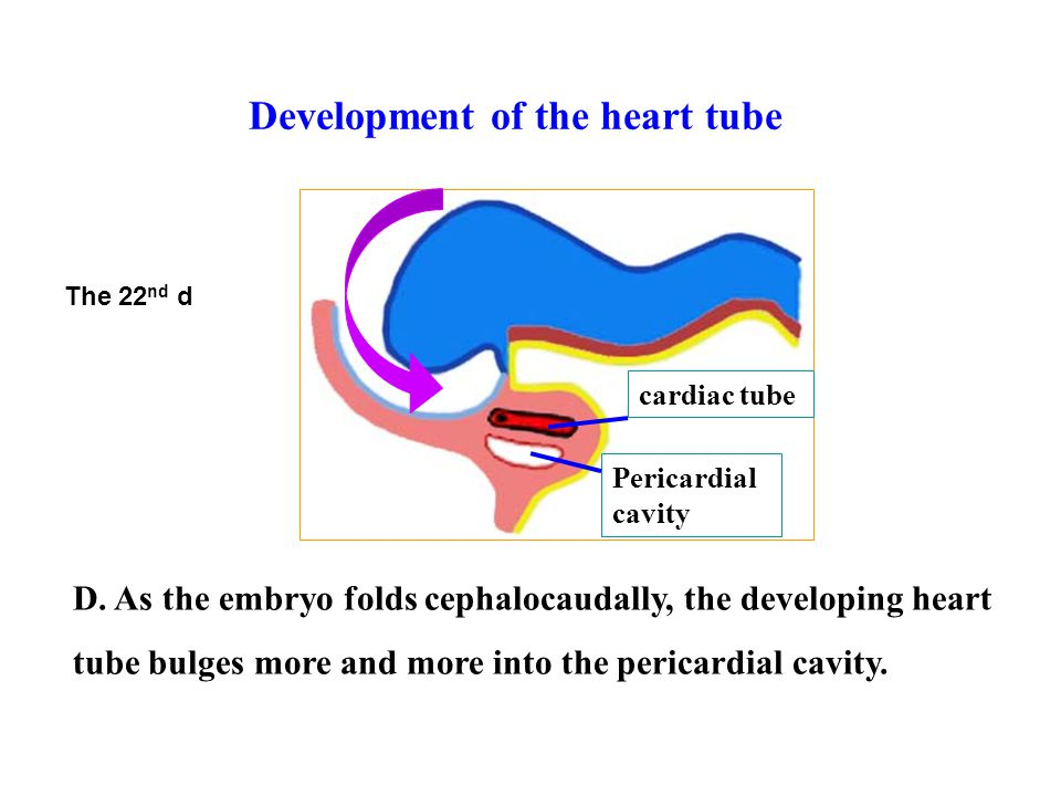 D. As the embryo folds cephalocaudally, the developing heart tube bulges more and more into the pericardial cavity. Pericardial cavity cardiac tube Th