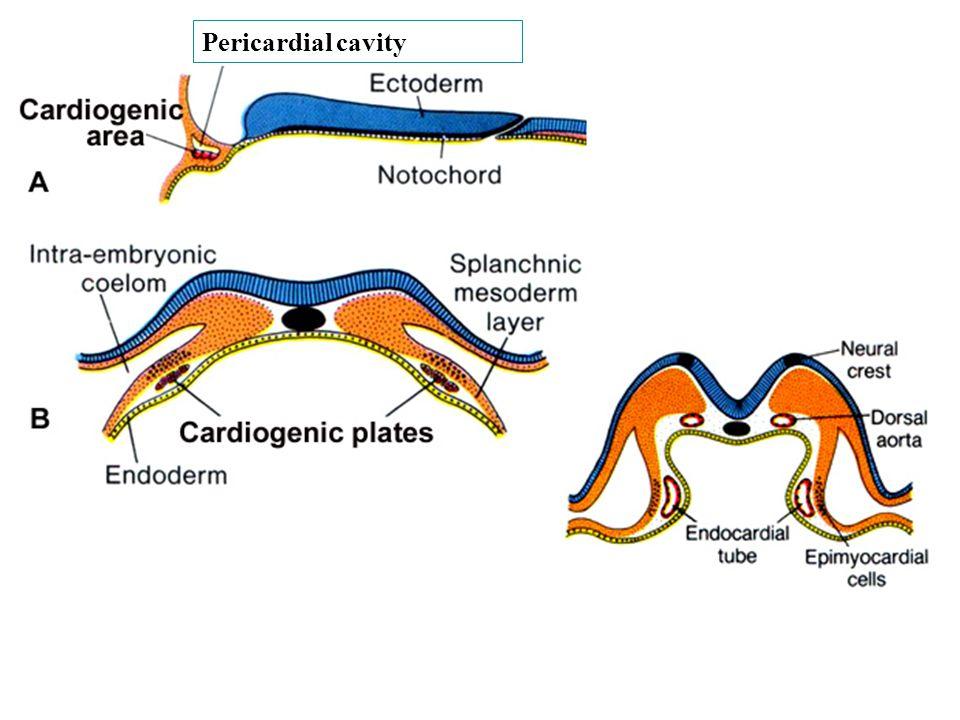 Pericardial cavity